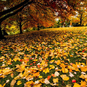 If you stand still outside you can hear it the sound of falling leaves. by Rajeev Krishnan - Nature Up Close Leaves & Grasses ( fall leaves on ground, autumn leaves, nature, autumn, fall, path, nature up close, nature close up, leaf, autumn colors, landscape, leaves,  )