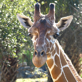 My best side by Kimmarie Martinez - Animals Other Mammals ( giraffe, eye lashes, safari, long neck, africa, Africa, Safari )
