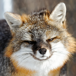 Grey Fox Profile by Lloyd Alexander - Animals Other Mammals ( wild, free, lloyd alexander, fox, nature, wildlife, grey, gray, natural )