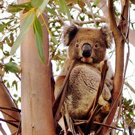 'Get My Best Side' by Mark Hurkmans - Animals Other Mammals ( koala, australia, wildlife, mammal, animal )