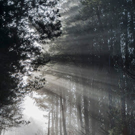 To the light by Jose María Gómez Brocos - Landscapes Forests ( pines, fog, forest, light, rays )