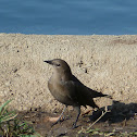 Brewer's Blackbird (female)