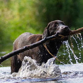 by Paul Bickley - Animals - Dogs Playing