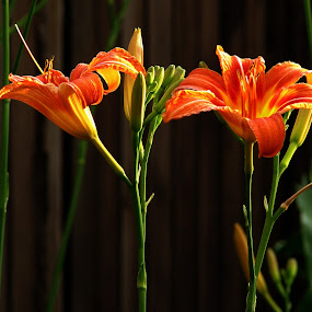 *** by Adriana Petcu - Flowers Flower Gardens ( orange, lily, green, garden, flower )