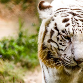 white tiger  by Sameer Agnihotri - Animals Lions, Tigers & Big Cats ( white tiger, wildlife photography, nature, zoo, tiger, safari, wildlife )