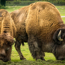 Bison by Voicu Lupan - Animals Other Mammals ( bison, power )