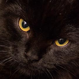 My little panter by Kjersti Narmo - Animals - Cats Kittens ( panter, kitten, cat, yellow, black )