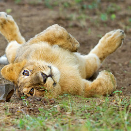 Let me Roll by Kirti Ranjan Nayak - Animals Lions, Tigers & Big Cats ( wild, lion, safari, wildlife, asiatic lion, gir, gujurat )