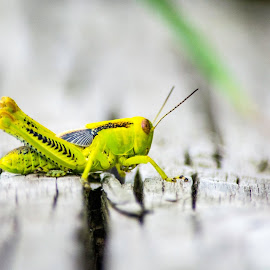 grasshopper by Timothy Miller - Animals Insects & Spiders