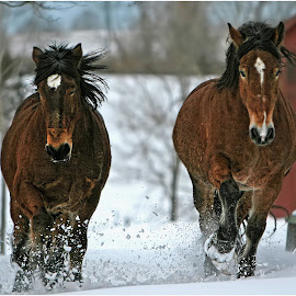 The Charge by Dennis Ba - Animals Horses ( winter, horses, snow, galloping horses, charging horses )