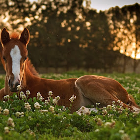 A Thoroughbred foal in Spring Pasture by Michael Price - Animals Horses ( wicklow stud south africa, thoroughbred foal, stud farm, fill foal at last light, racehorse, foal )
