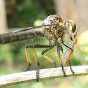 Yellow Feathery Antennae Robber Fly