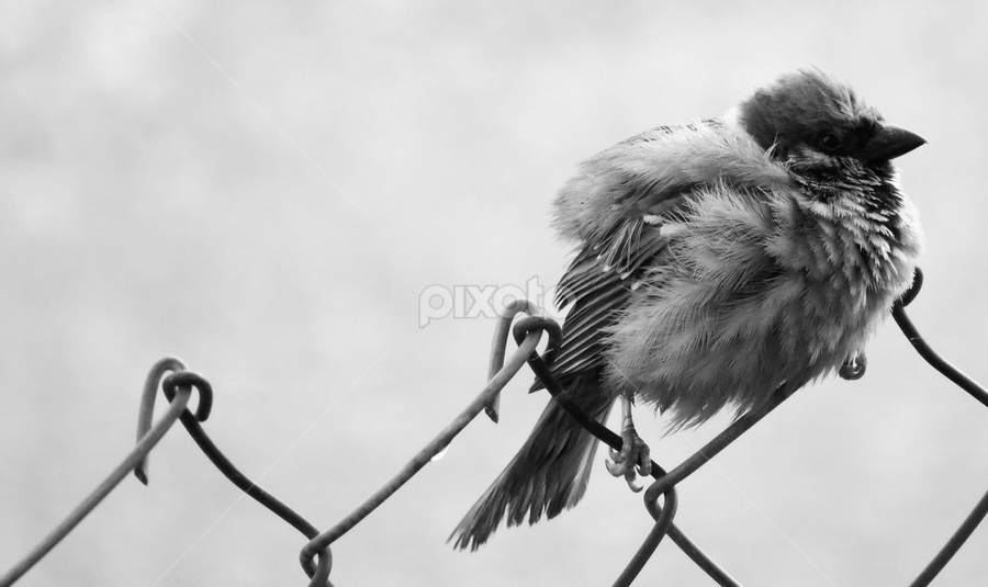 sparrow by Renato Dibelčar - Animals Birds ( life, nature, outdoor, animal, sparrow )