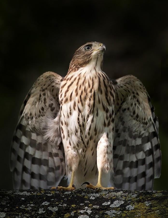 Cooper's Hawk / Épervier de Cooper by Rachel Bilodeau - Animals Birds ( cooper's hawk / épervier de cooper )