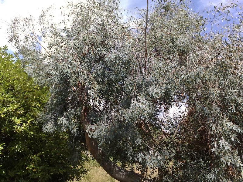 Gum tree in England!