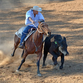 Cow Chasing by Jessica Hensley - Animals Horses ( cowboy, horse, cow, campdrafting, cow chasing )
