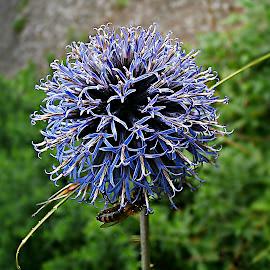 Blue Honey Life by Marija Jilek - Nature Up Close Other plants ( bur, life, nature, plants, green(colors), blue (colors), honey )