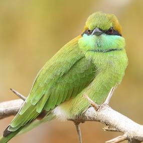 Green Bee-eater by S Balaji - Animals Birds ( animals, beeaters, nature, greenbeeaters, green bee-eaters, birds,  )