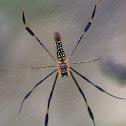 Golden Web Spider (or Golden Orb Spider)