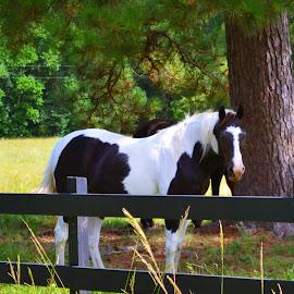 White Eyes by Teresa Davis - Animals Horses ( countryside, animals, novice, horse, paint )
