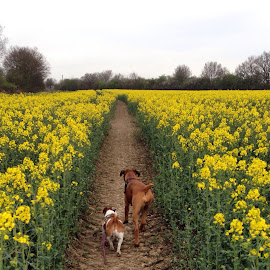 Running in the Fields of Gold by Ingrid Crouse - Animals - Dogs Running