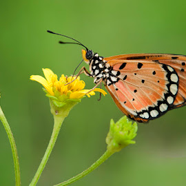Kupu-kupu by Andang Sugiarto - Animals Insects & Spiders ( butterfly, macro, nature, indonesia )