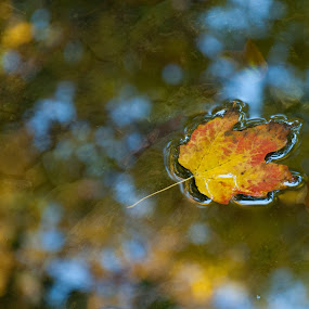 by Al Duke - Nature Up Close Leaves & Grasses ( fall leaves on ground, fall leaves, blue, orange. color,  )