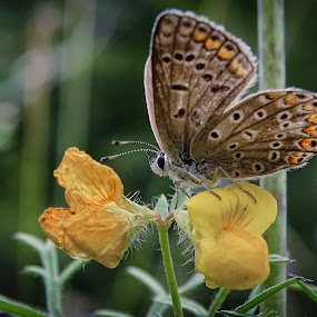 butterfly by Boris Romac - Animals Insects & Spiders ( sony, macro, nature, croatia, coguar, hx400v )