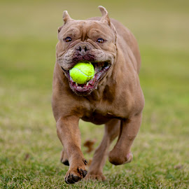 Indy at Play by Martha Pope - Animals - Dogs Running ( bulldog, shelter, adopt, rescue, puppy, dog )