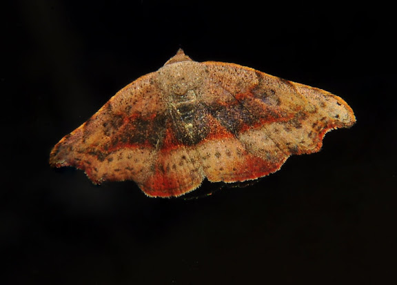 Noctuidae : Acontiinae : probablement Sophta poecilota TURNER, 1908. Umina Beach (NSW, Australie), 26 avril 2011. Photo : Barbara Kedzierski