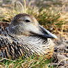 Eider duck (female)