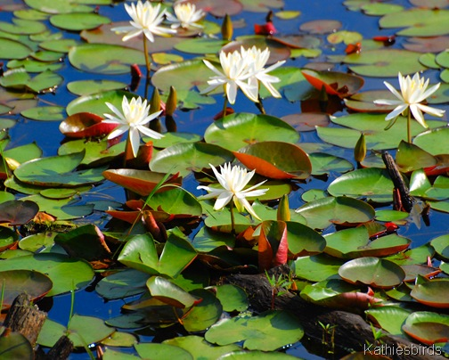 1. Waterlilies-kab