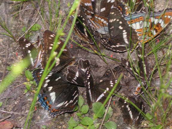 1. Limenitis camilla. 2. Limenitis moltrechti. 3. Limenitis populi. 4. Limenitis amphissa MÉNÉTRIÉS, 1859. Chemin de Muraveka à Novogordeevka, à l'est d'Anutchino (Primorskij Kraj, Russie), 2 juillet 2011. Photo : Jean Michel