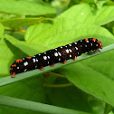 Lily moth caterpillar