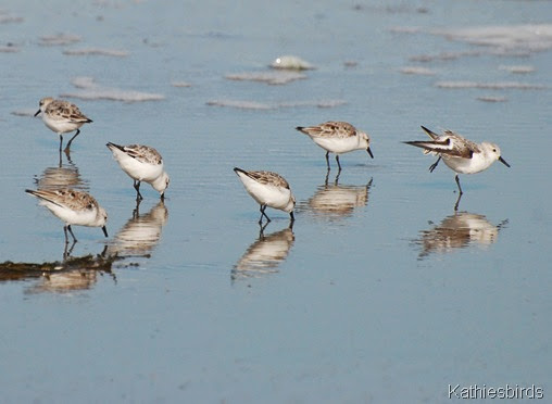 18. sanderlings-kab