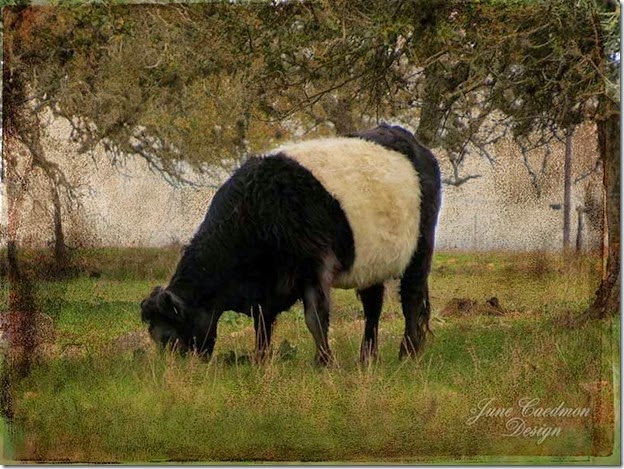 Belted_Galloway_Impressions