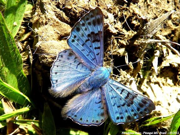 Riodinini : Lasaia agesilas (LATREILLE, [1809]). Pitangui (MG, Brésil), 27 mai 2012. Photo : Nicodemos Rosa