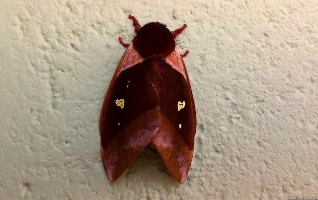 Hemileucinae : Dirphiopsis (Pseudodirphia) trisignata (FELDER & ROGENHOFER, 1874). Environs de Curitiba (Paraná), 30 janvier 2014. Photo : Mauricio Skrock