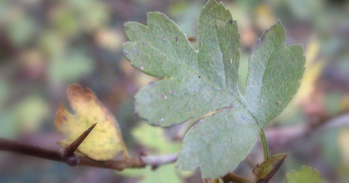 Carnet naturaliste aub pine monogyne crataegus monogyna for Arbre qui pousse rapidement