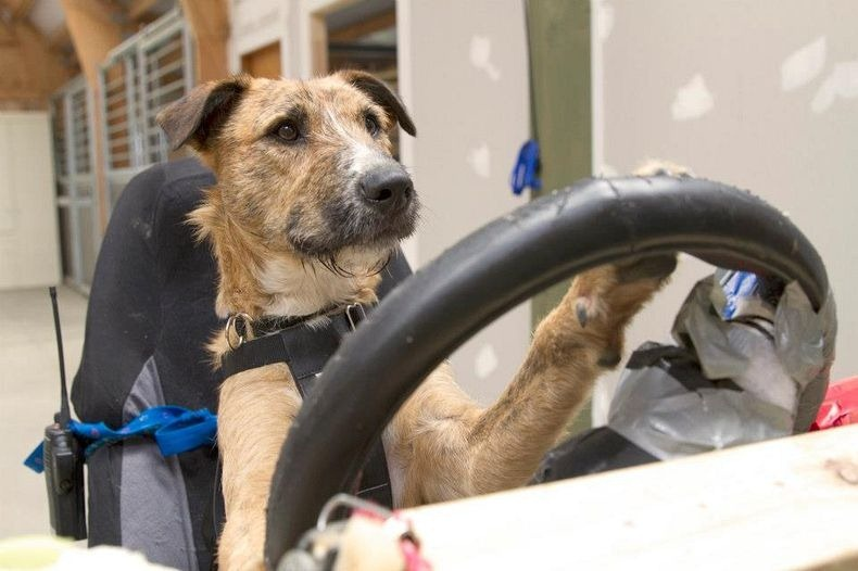 driving-dogs-1_1