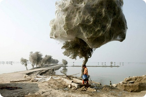 Spider cocoons in Sindh 8