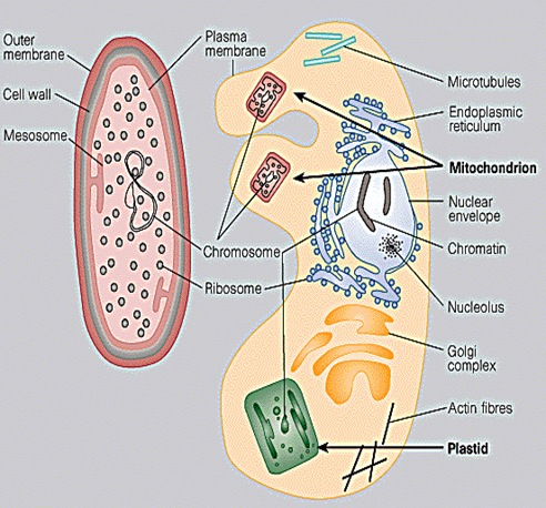 Typical prokaryotic (left) and eukaryotic (right) cells