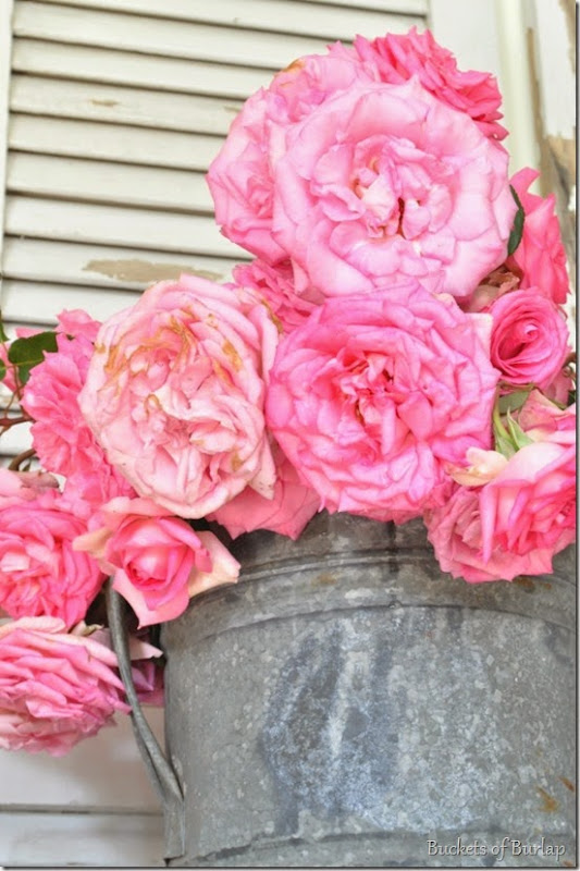 pink roses 5