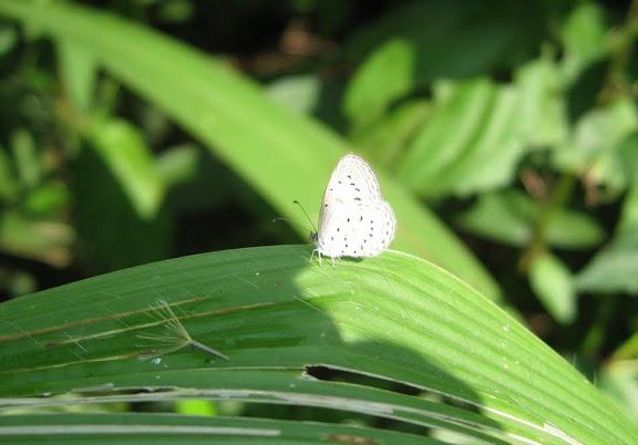 Probablement : Zizeeria knysna TRIMEN, 1862. Atewa Hills (Ghana), 28 décembre 2009. Photo : Henrik Bloch