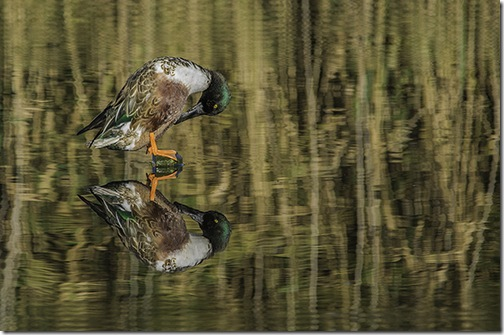 MALE SHOVELER DUCK REFLECTED WHILE PREENING ITSELF by  Graeme Andrews 3rd place pdi