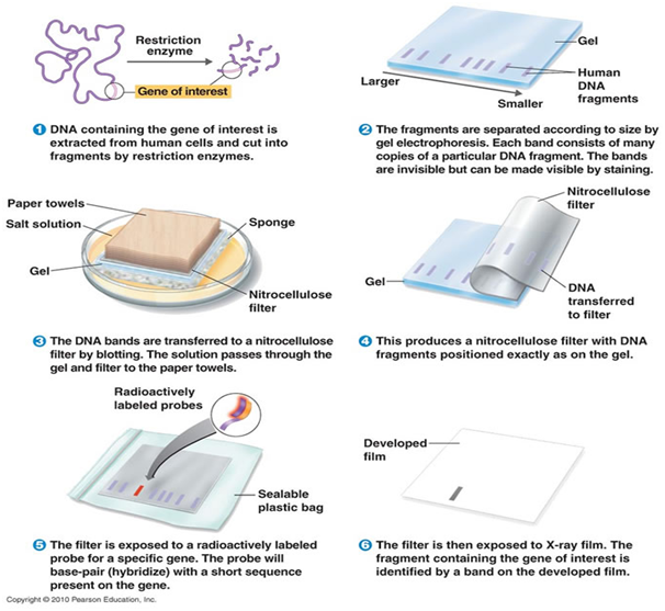 Southern Blotting Procedure Steps