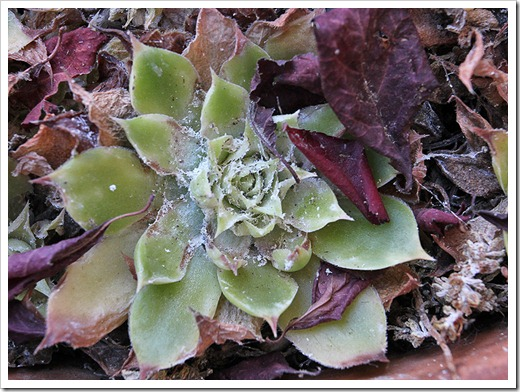 110828_sempervivums-with-mealybugs_04