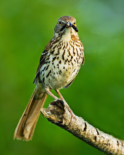 brown thraser
