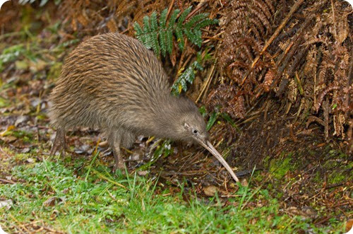 South Island brown kiwi (Apteryx australis), Stewart Island, New Zealand