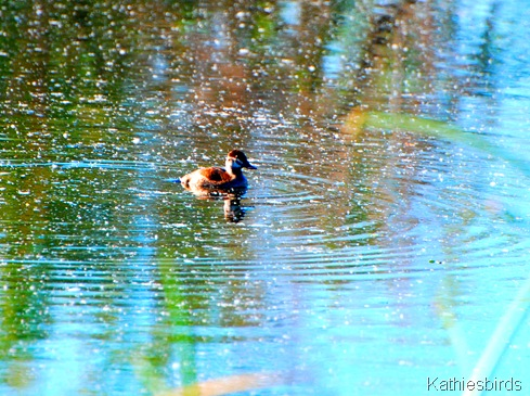 2. ruddy duck-kab